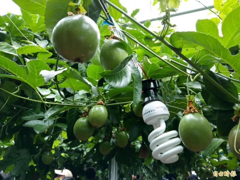 台中農改場以燈照技術在南投集集做百香果產季調節,可將產期提前到3月採收。(記者劉濱銓攝)