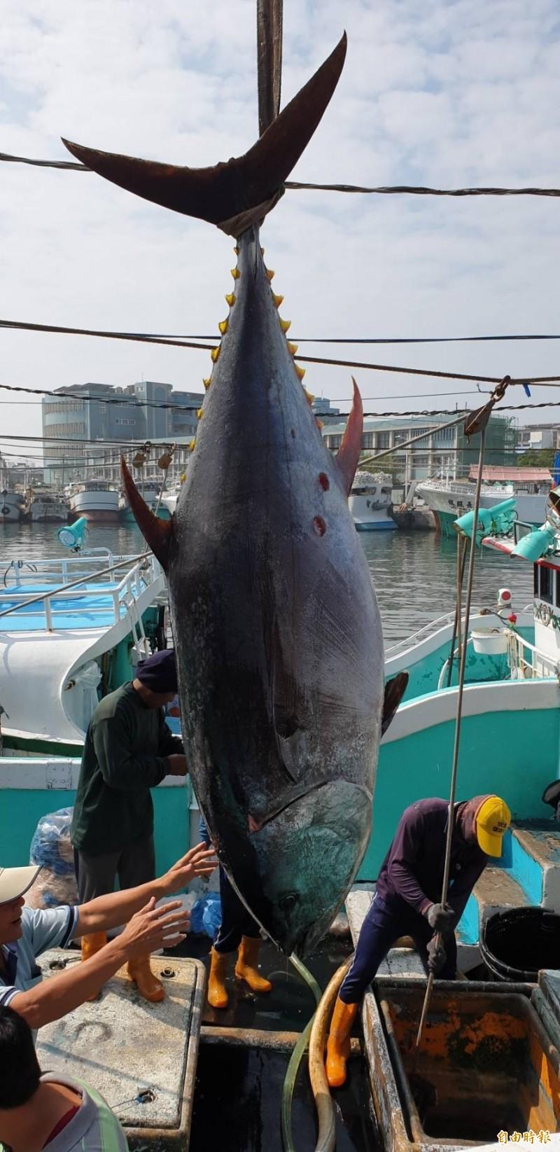 確認屏東第一鮪捕獲,重量超過200公斤以上。(記者葉永騫攝)