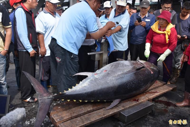 東港區漁會進行屏東第一鮪進行驗證作業。(記者葉永騫攝)