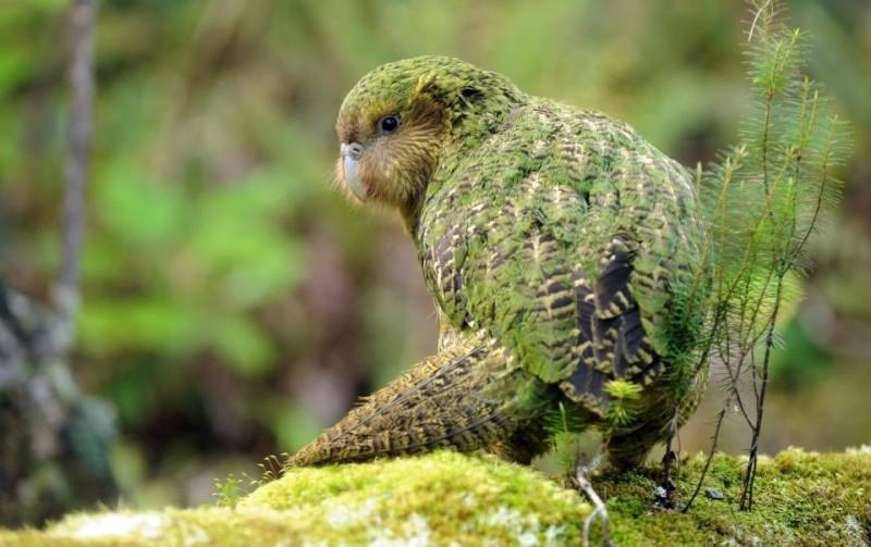 鴞鸚鵡。(圖片來源:Kākāpō 保育組織臉書專頁)