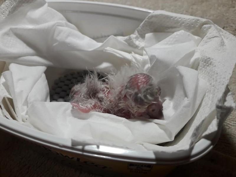 剛出生的鴞鸚鵡雛鳥。(圖片來源:Kākāpō 保育組織臉書專頁)