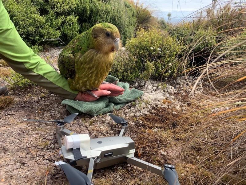 科學家用無人機運送雄鴞鸚鵡精液,替雌鴞鸚鵡人工授精。(圖片來源:紐西蘭保育局臉書專頁)