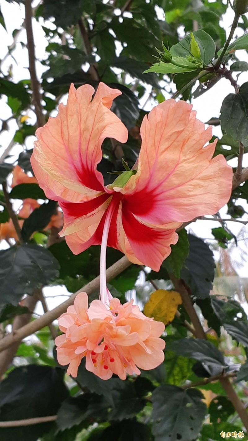 花中有花的朱槿。(記者黃明堂攝)