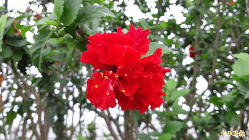 像玒玫瑰般的朱槿花。(記者黃明堂攝)