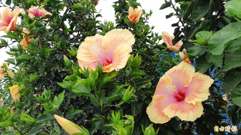 多變的朱槿花。(記者黃明堂攝)