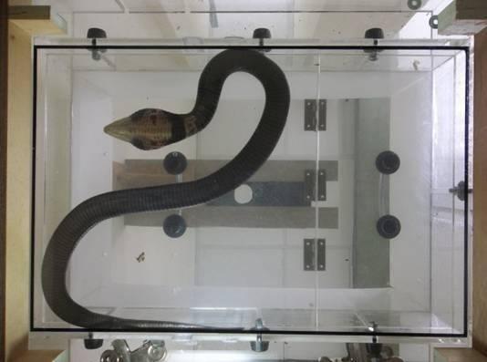 黑腹眼鏡蛇,體形有1.5公尺。(中榮提供)
