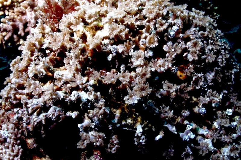 八放綠羽珊瑚率先產卵熱身。(蔡永春提供,記者蔡宗憲翻攝)