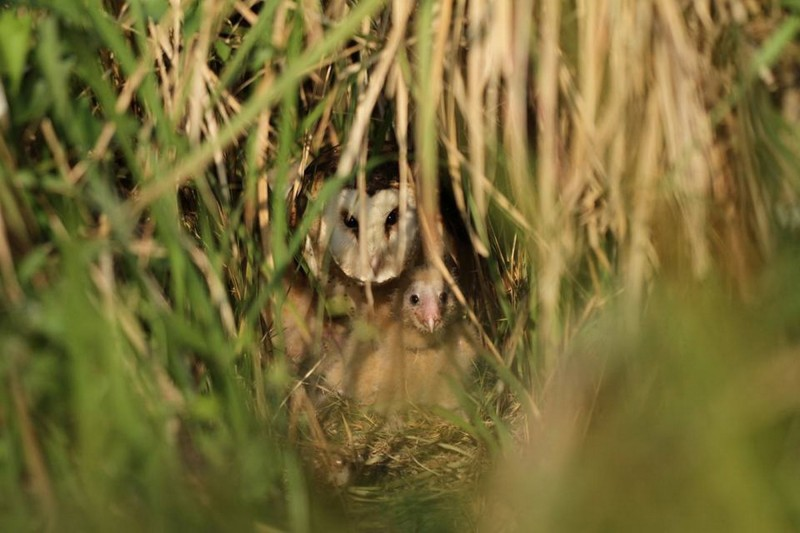 在巢位中的草鴞母鳥與幼鳥。(資料照,高雄鳥會草鴞團隊提供)