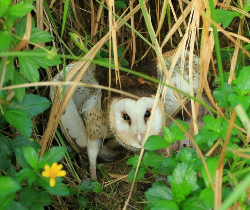 草鴞母鳥在巢位附近發現威脅而呈現威嚇狀。(資料照,高雄鳥會草鴞團隊提供)