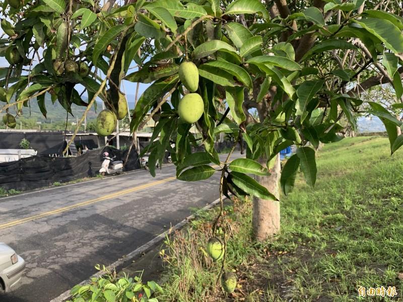 東45線防汛道路旁土芒果持續結果。(記者張存薇攝)