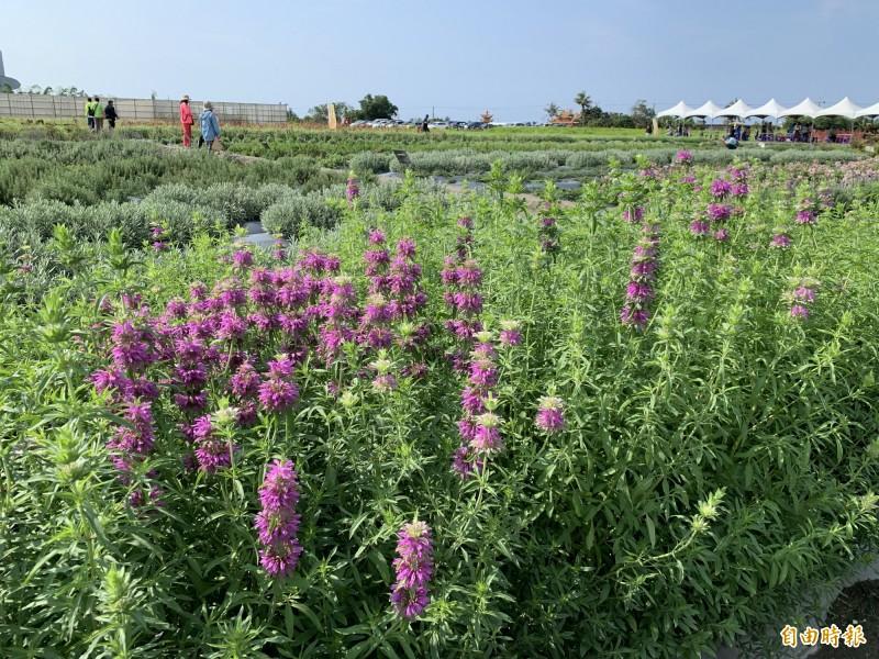 台東香草節展現各種香草作物。(記者張存薇攝)