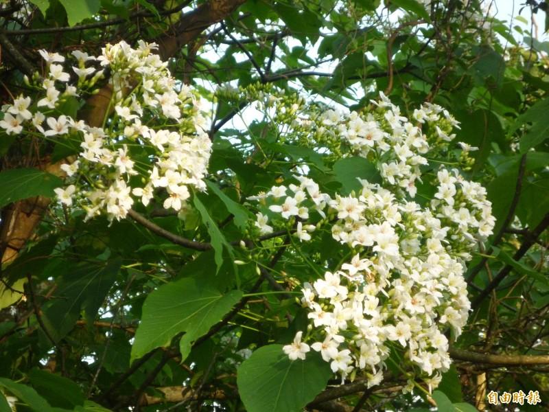 地方預估,新竹縣桐花下週將進入盛開期。(記者廖雪茹攝)