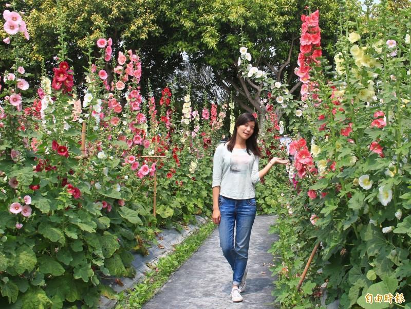 蜀葵花盛開時,3公尺高花牆吸引民眾打卡拍照。(記者陳冠備攝)