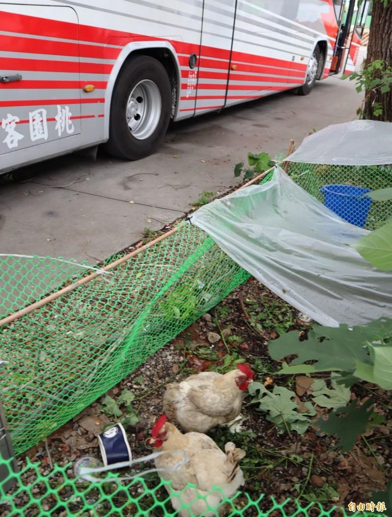 張姓司機在豐原甲保廠接駁站養雞,引發民眾質疑。(記者歐素美攝)