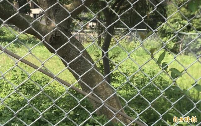 陳情地主鄒增乾抨擊他土地旁的公有地上,寧可「養」如圖直徑超過30公分的雜木也不開發,理由就是土地使用效益不如想像嘛!(記者黃美珠攝)