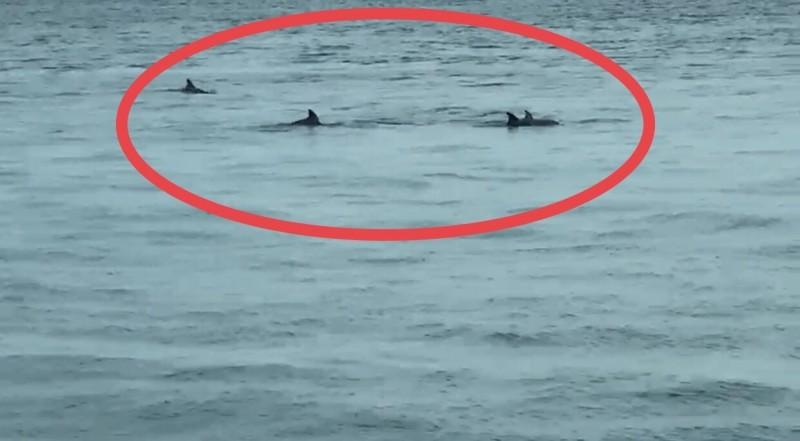 台中港海豚出沒。(記者歐素美翻攝)