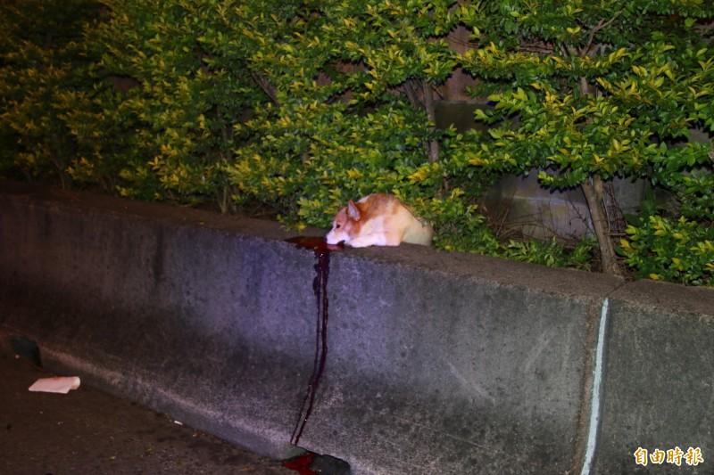 一隻寵物柯基犬陳屍護欄草叢,令人不忍卒睹。(記者鄭名翔攝)