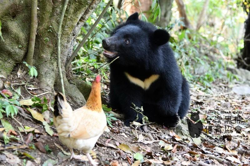 南安妹子台灣黑熊4月底前將進行野放。(台灣黑熊保育協會提供)