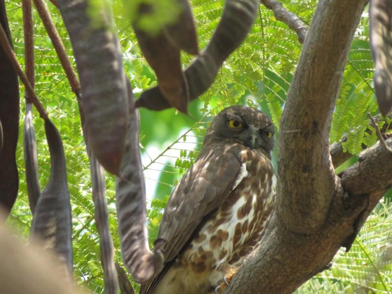 褐鷹鴞過境愛河願景橋周遭。(陳安佑攝影、提供)
