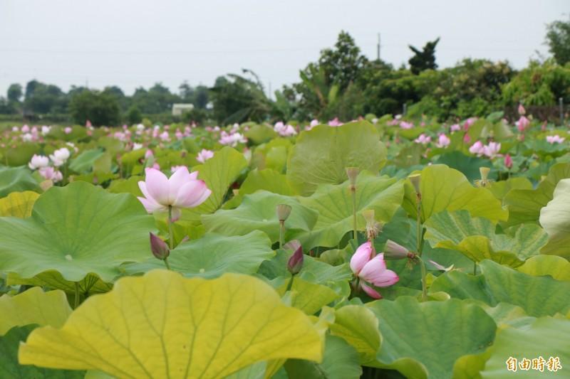 台南善化東勢寮南122線路旁一處蓮田已開滿蓮花,美麗的花海讓地方居民相當驚喜。(記者萬于甄攝)