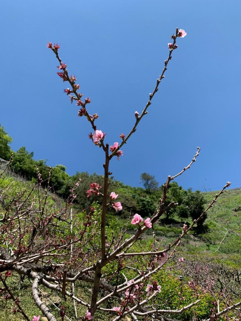 水蜜桃開花率低,部分花芽乾枯。(農業局提供)