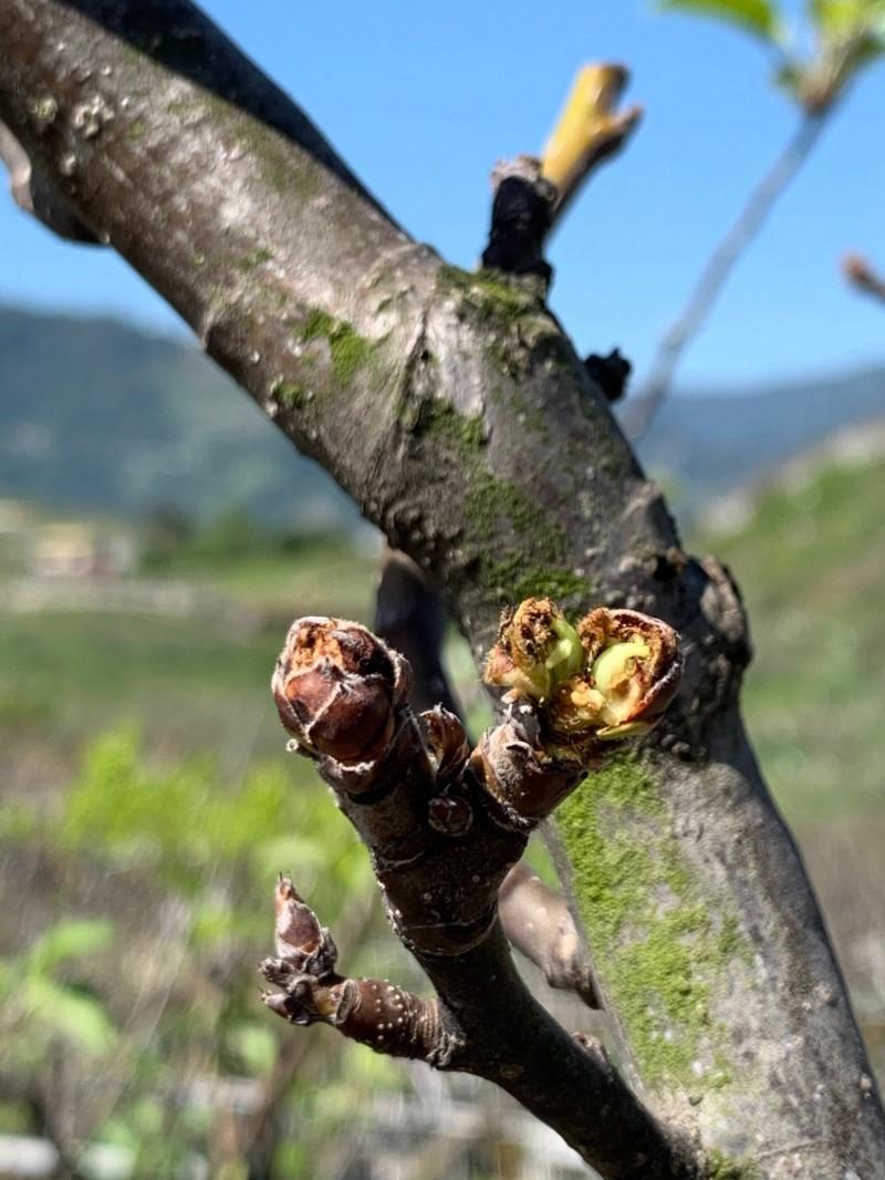 梨樹多數芽體乾枯,葉芽尚未萌動。(農業局提供)