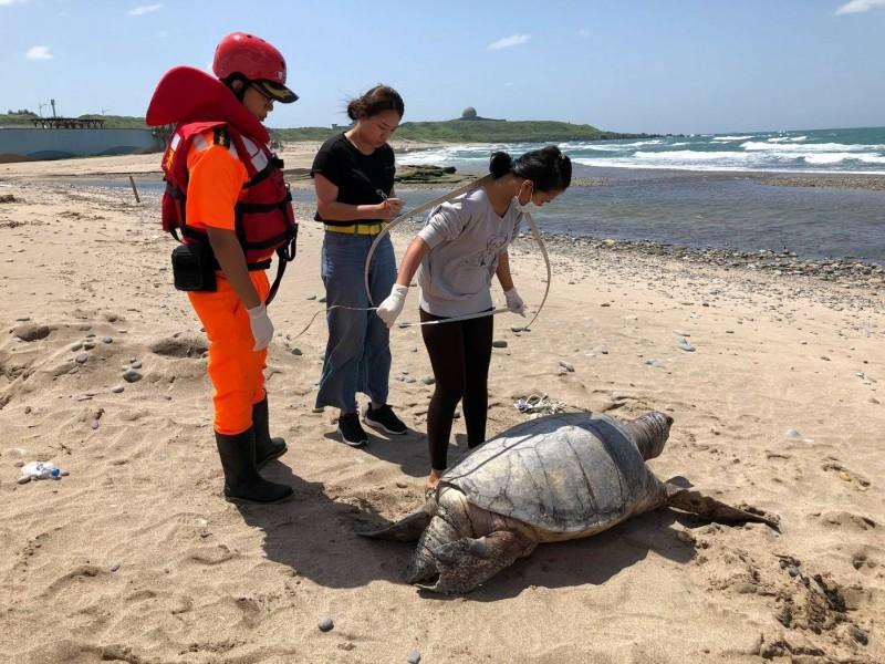 北海岸又見死亡綠蠵龜!一隻巨型綠蠵龜今天近午被發現「陳屍」在新北市石門區老梅沙灘,海大生物研究所研判這隻重達100公斤的綠蠵龜年紀已50歲,死因不明。(記者林嘉東翻攝)