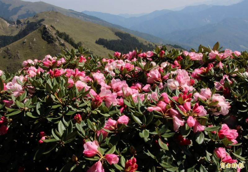 每年春末夏初為合歡山杜鵑花季,紅白相間的花朵十分美麗。(資料照)