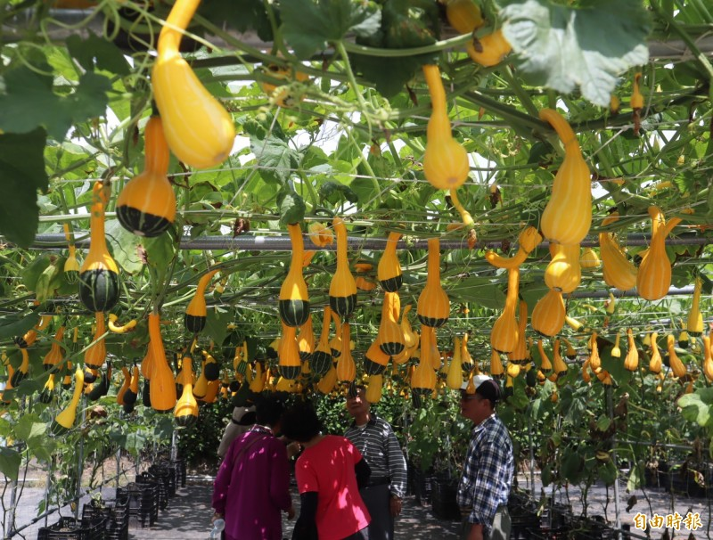 5.6月是中社觀光花市「玩具南瓜」觀賞期。(記者歐素美攝)