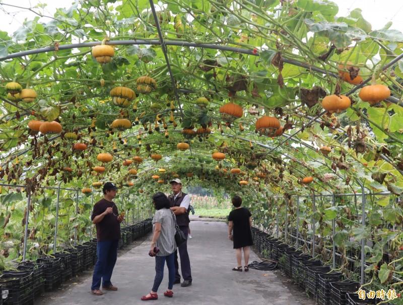 中社觀光花市種植大量「玩具南瓜」,形成一座座的玩具南瓜隧道。(記者歐素美攝)
