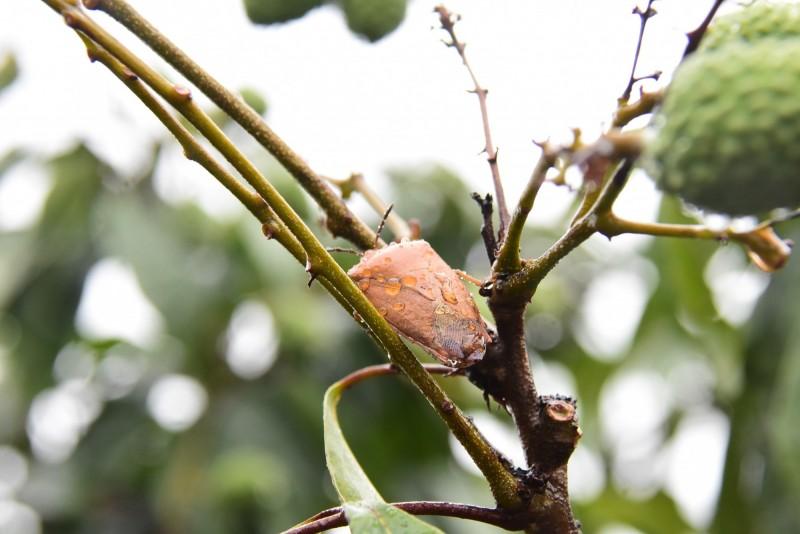 去年八卦山脈爆發蟲蟲危機,荔枝椿象大舉攻陷荔枝、龍眼果園。(圖彰化縣政府提供)
