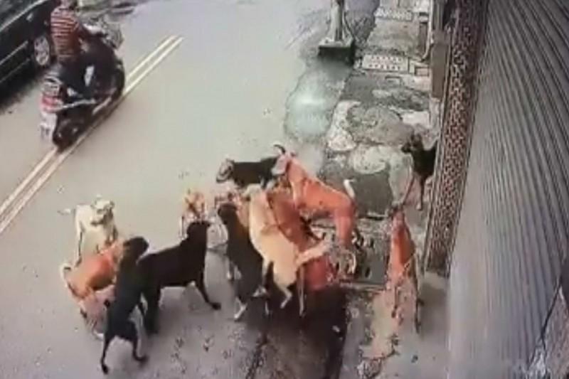 1隻家貓慘遭10幾隻流浪狗追咬分屍,畫面毛骨悚然!(翻攝臉書《貓狗龜殼花論壇》)