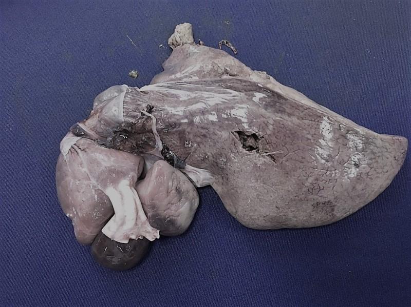 海洋保育署解剖小琉球橫死海龜發現,牠是遭不規則銳器穿刺肝肺、臟致死。(海保署提供)