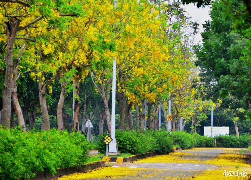 今年初梅來得早,台南高鐵特定區內的阿勃勒樹群已下起黃金雨。(記者吳俊鋒攝)