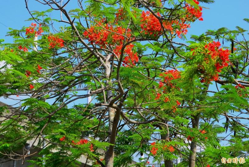 鳳凰木開花時,綠色枝頭上一片火紅,也很搶眼。(記者吳俊鋒攝)