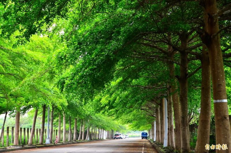 高鐵特定區內的小葉欖仁路樹,已形成綠色隧道。(記者吳俊鋒攝)