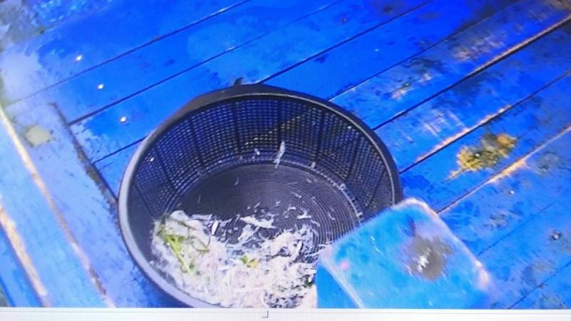 漁船上捕獲的魩鱙魚。(記者張議晨翻攝)