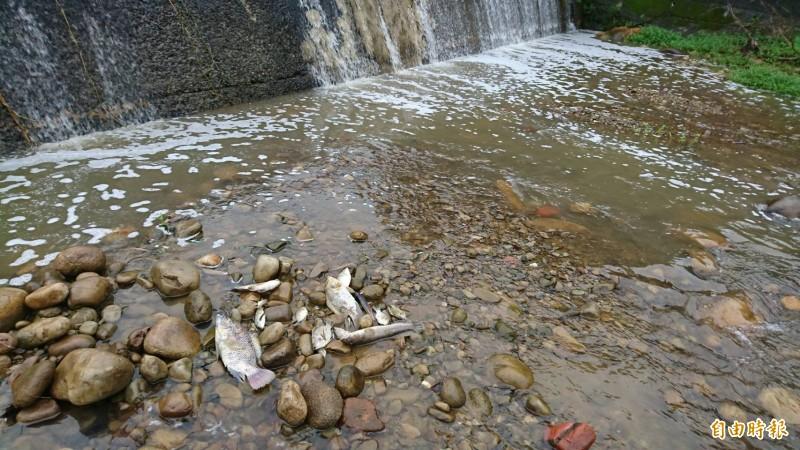 新竹縣關西鄉親對於桃園市政府環保局指稱,9日的水污染事件只有「5隻」魚死,感到不可思議。圖為9日牛欄河中翻肚的魚群,光1個地方大大小小就超過5隻。(資料照,記者黃美珠攝)