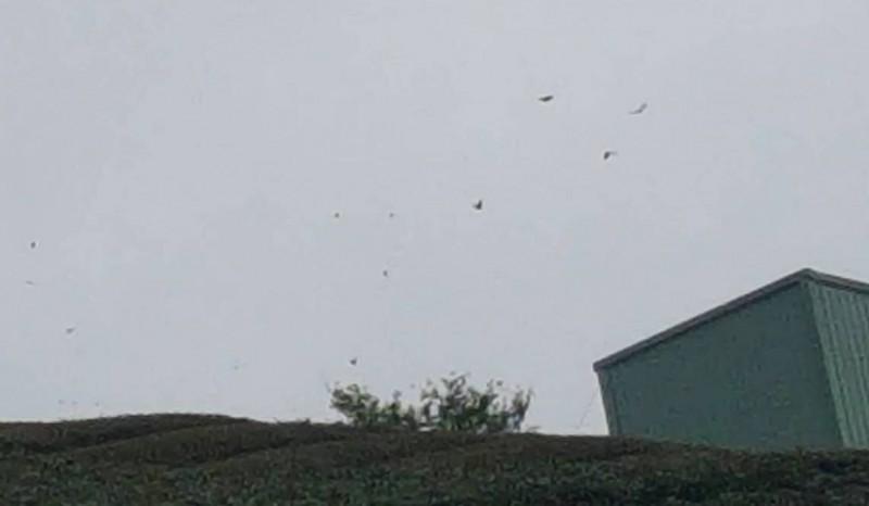 南投縣鹿谷鄉大崙山突然湧現成群紫斑蝶在天空飛舞情形。(記者謝介裕翻攝)