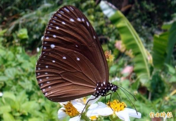 紫斑蝶因陽光折射,蝶翼會出現不同光彩,是其一大特色。(記者謝介裕攝)