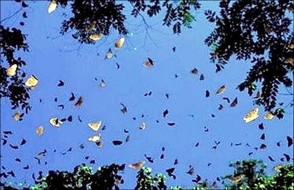 南投縣竹山鎮鯉魚社區有時也可見到紫斑蝶集體遷徙的景象。(資料照,記者謝介裕翻攝)