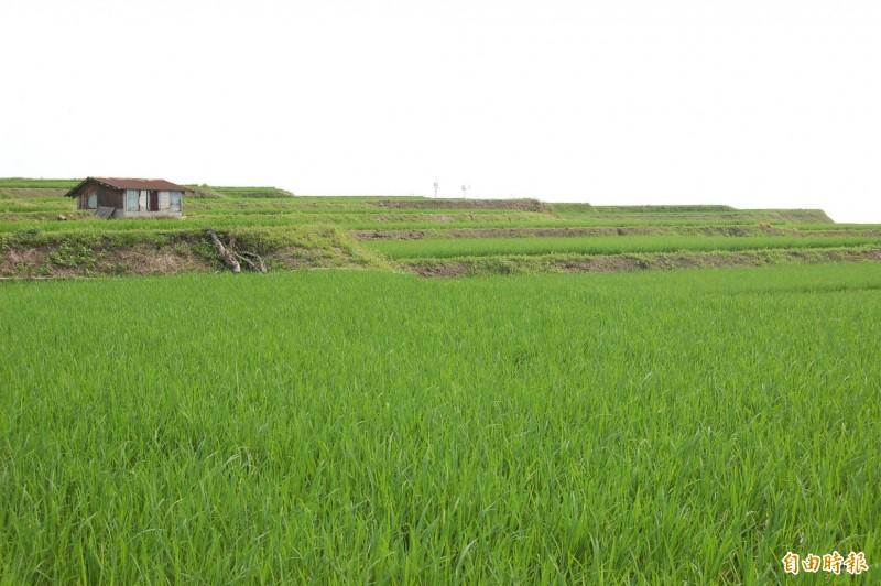 豐濱鄉新社半島的水梯田,稻子吸飽來自太平洋的風和雨水,景色靜謐優美,稻時候鄉愛一起活動將在美麗梯田中登場。(記者花孟璟攝)