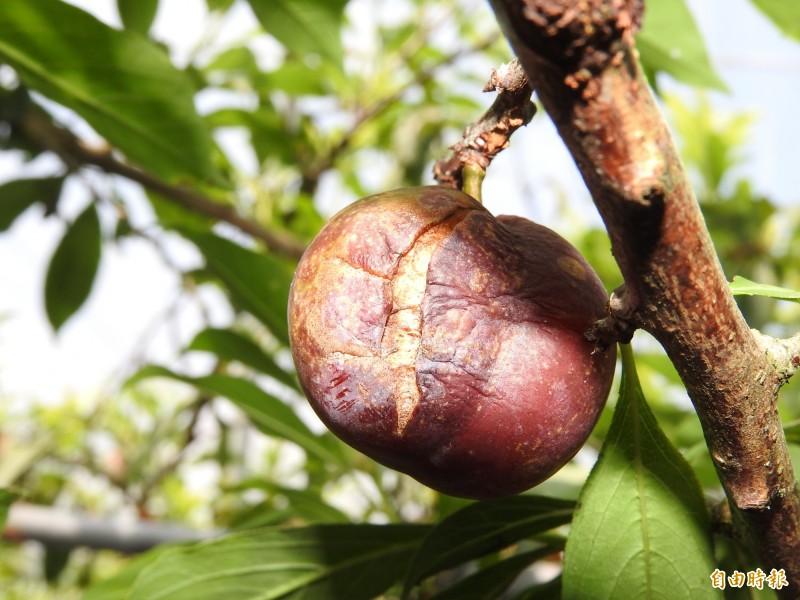 國姓鄉甜桃、香水李栽種面積不足,多年來每逢災害,農民無法獲得救助。(記者佟振國攝)