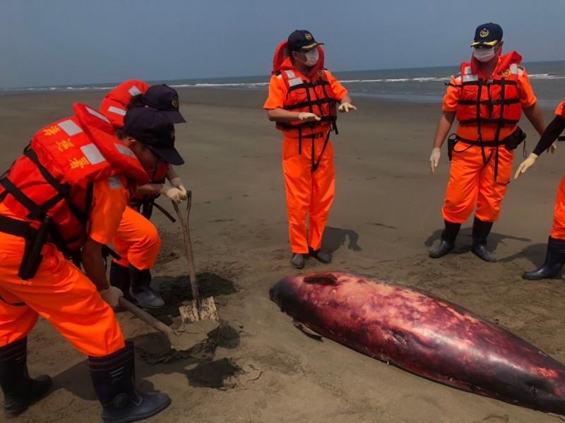 侏儒抹香鯨已死亡多時,屍身被日曬呈紅色且有脫皮現象。(記者鄭名翔翻攝)