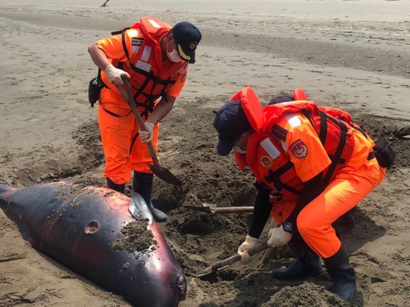 海巡人員先將抹香鯨就地掩埋,明天待專家採樣解剖,釐清死因。(記者鄭名翔翻攝)
