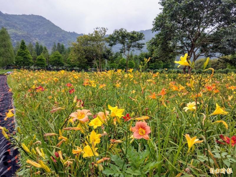 日月潭頭社盆地彩色金針花開,彩色花朵爭妍比美,相當美麗。(記者劉濱銓攝)