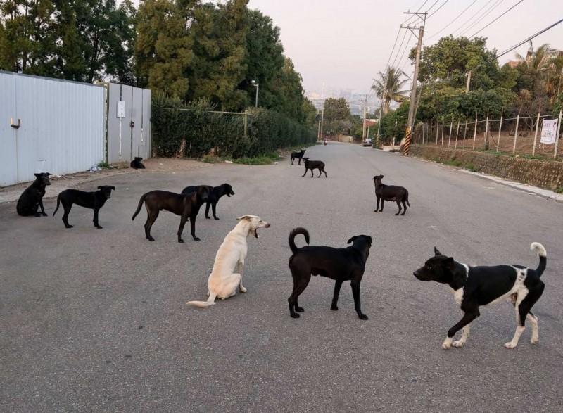 台南傳女童遭流浪狗追逐摔成重傷,由於彰化流浪狗數量相當多,令彰化人「想到就怕!」(記者湯世名翻攝)