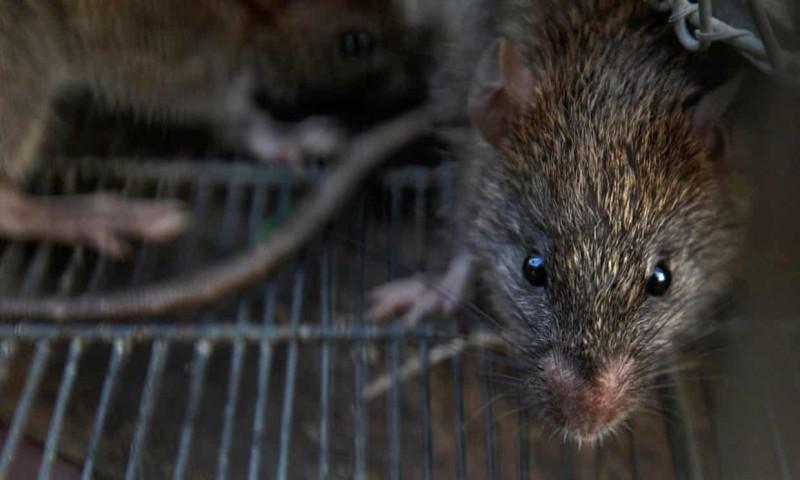 香港驚爆全球首見鼠傳人E型肝炎。(路透檔案照)