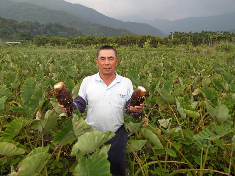 66歲屏東縣高樹農民汪進賢種芋頭超過30年。(記者羅欣貞翻攝)