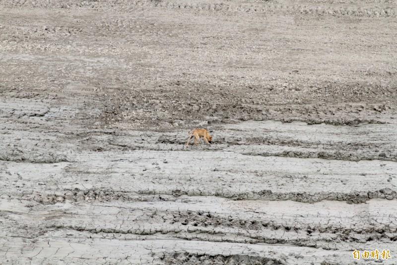 濱海野狗常在魚塭遊蕩。(記者楊金城攝)